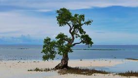 Mangroveboom op Strand 02 stock video