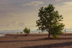 Mangroveboom op strand in zonsondergangtijd Stock Fotografie