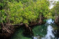 Mangrovebos stock foto's