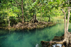 Mangrovebos Royalty-vrije Stock Fotografie
