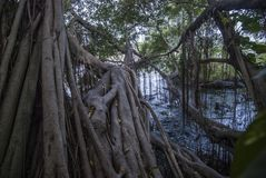 Mangrovebos in de mond van de rivier stock afbeeldingen