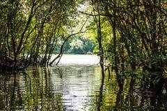 Mangrovebos en de Rivier stock foto