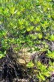 Mangrovebos, huahin, kanaal stock foto's