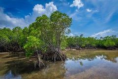 Mangrovebos van paradijs Stock Foto