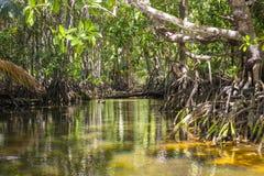 Mangrovebuskar, Seychellerna Royaltyfri Fotografi