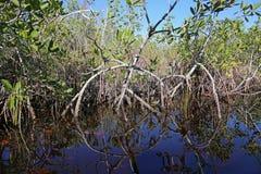 Mangrovecirkelreflexion Royaltyfri Bild