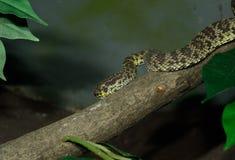 MangroveGrop-huggorm (den T-. purpureomaculatusen) Arkivbild
