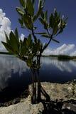 Mangroveinstallaties Stock Afbeeldingen