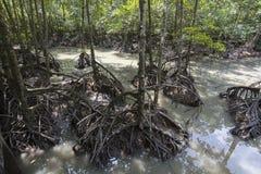 Mangrovemoeras Stock Foto