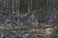 Mangrovemoeras Stock Afbeeldingen