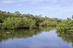 Mangroven über Wasser mit Reflexionen lizenzfreies stockfoto