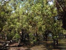 mangroven royalty-vrije stock foto