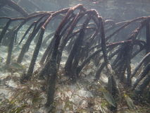 Mangroven Stock Foto