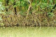 Mangroven in Amazonië Royalty-vrije Stock Afbeeldingen