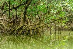 Mangroven in Amazonië Stock Afbeelding