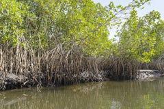 Mangroven-Bäume lizenzfreie stockfotos