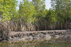 Mangroven-Bäume stockfotografie