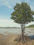 Mangroven-Baum Lizenzfreie Stockfotos