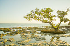 Mangroven-Baum stockfoto