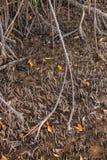 Mangroven, die im Northren-Teil von Brasilien wachsen Stockfotos