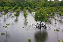 Mangroven die volgens de kustlijnen opnieuw worden geplant van Mindanao, Filippijnen, stock foto's