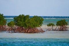 Mangroven in Fiji Stock Fotografie