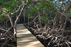 Mangroven in Martinique stock foto