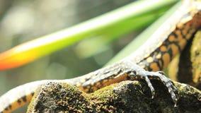 Mangroven-Monitor-Eidechse (südostasiatisches Reptil) stock footage