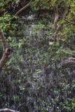 Mangroven nyplanterar med skog Arkivbilder
