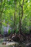 Mangroven nyplanterar med skog
