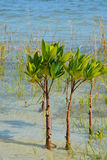 Mangroven op Tampa Bay, Florida stock foto's
