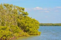 Mangroven op Tampa Bay, Florida royalty-vrije stock foto