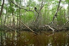 Mangroven in Progreso stock afbeelding