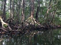 Mangroven rotar Arkivbilder