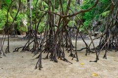 Mangroven rotar den Phang Nga fjärden fotografering för bildbyråer
