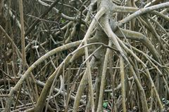 Mangroven rotar i Yucatan Mexico royaltyfri foto