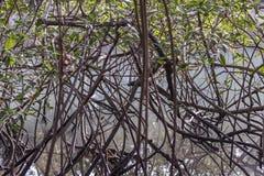 Mangroven rotar, Puntarenas Costa Rica Fotografering för Bildbyråer
