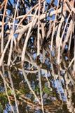 Mangrove Royaltyfri Fotografi