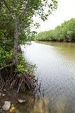 Mangroven-Wald. Lizenzfreie Stockfotos