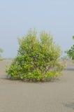 Mangrovenbäume auf der Gezeiten- Ebene lizenzfreies stockbild