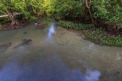 Mangrovenbäume in einem Torf überfluten Wald und einen Fluss mit klarem Wasser an Krabi-Provinz, Thailand Lizenzfreies Stockfoto