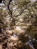 Mangrovenbaumreflexion im Wasser stockbild