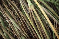 Mangrovenbaumwurzeln, Hintergrundfoto Stockfotos