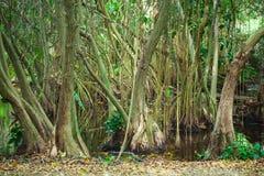 Mangrovenbäume, die im Wasser wachsen Lizenzfreie Stockfotos
