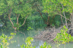 Mangrovenpflanzen lizenzfreie stockfotos