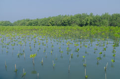 Mangrovenpflanzen stockbilder
