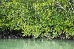 Mangrovenwald Lizenzfreies Stockfoto