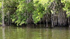 Mangrovenwald stock footage