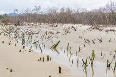 Mangrovenwald in Daniela-Strand stockfoto