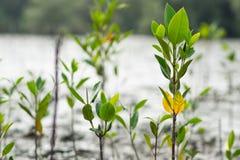 Mangrovenwald, der mit kleinem Oberteil pflanzt Stockbild